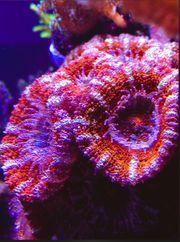 Acanthastrea LPS Korallen 4-5 Polypen