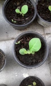 Tabakpflanze virginia gold