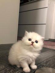 BLH Kitten Weiß