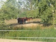 Muli- Wallach Maultier Esel