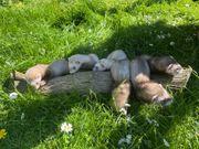 6 Junge Frettchen suchen bald