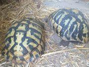 4er Gruppe griechische Landschildkröten