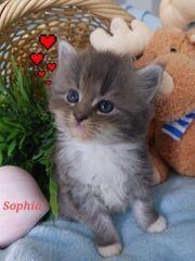 Zuckersüße Mainecoon Kitten