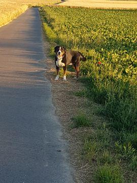 Bild 4 - Appenzeller Sennenhund Deckrüde Kein Verkauf - Nieder-Olm