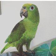 Papagei Gelbstirn Amazone