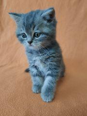 Bkh Kittten Reinrassig Kätzchen