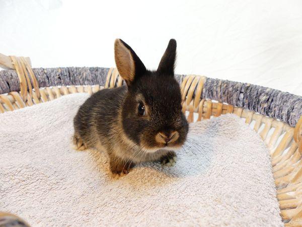 junges Kaninchen Zwergkaninchen Farbenzwerg