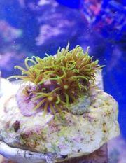 Meerwasser KoralleClavularia