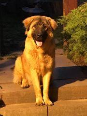 Albin 2-jähriger Leonberger-Bärenhund Mix Rüde