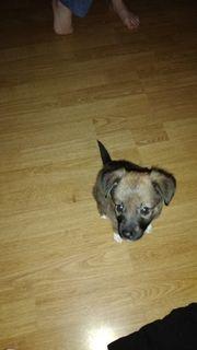 verkaufe ein chihuahua yorkshire Terrier