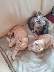 wunderschöne Bkh-Schottisch Katzenbabys