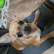 Suche mini Chihuahua Rüde