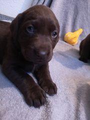 Reinrassige Labrador-Welpen mit Ahnentafel