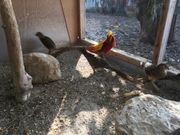 Goldfasan in rot und gelb