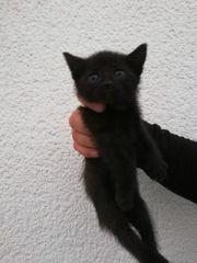 Babykatze sofort Abholbereit lieb verschmust
