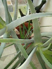 Aloe Vera Pflanze 16 Jahre