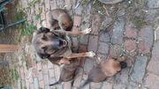 Schäferhundmix Welpen