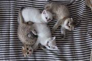 exzellente BKH SFO Kitten von