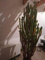 Dreieckiger wolfsmilch Kaktus