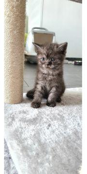 BKH Kitten Britisch Kurzhaar