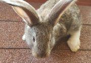 Deutsche Riesen Mix - Kaninchen - Hase