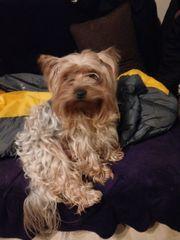 Yorkshier Terrier