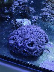 Meerwasser Acans lila Ableger