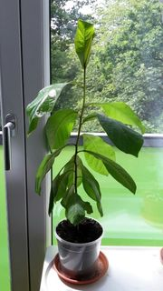 Seemandelbaum Pflanze