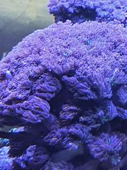 meerwasser clavularia sp tricolor