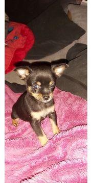 Sehr schöne Chihuahua Welpen zu