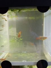 Fische Platy s
