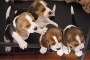 Gesunde Beagle-Welpen