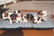 Jack Russell Terrier suchen ein