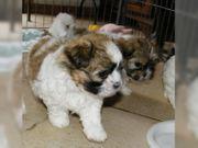 Wundervolle Welpen Familienhund kleinbleibend nicht
