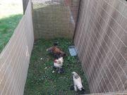 4 Hühner