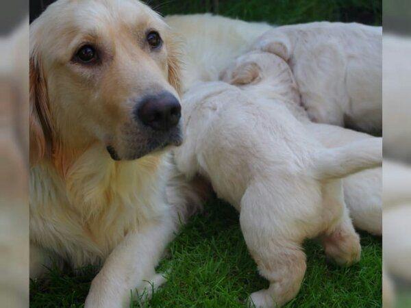 Golden Retriever Welpen Abzugeben In Eberswalde Hunde Kaufen Und