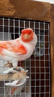 Kanarienvögel rot Mosaik