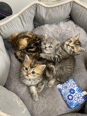 Sehr schöne BKH Kitten zum