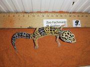Leopardgecko Männchen lat Eublepharis Macularius