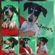 Welpe Zorro ca 6 Monate