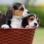 Herausragende von AKC registrierte Beagle-Welpen