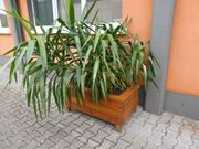 Yucca Plame in Pflanztrog