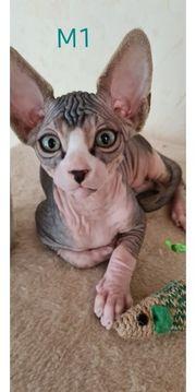 Canadian Sphynx Kitten 1 Mädchen