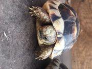 Griechische Breitrandschildkröten Nachzucht 2018