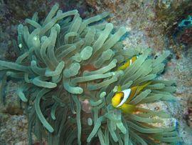 Meerwasser Blasenanemonen grün 5-10cm