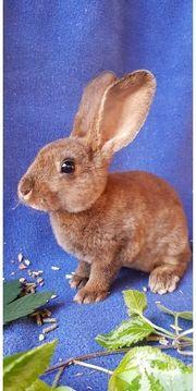 Liebevoller Castor Rex Kaninchen Rammler