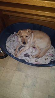 Labrador Mischling zu verschenken