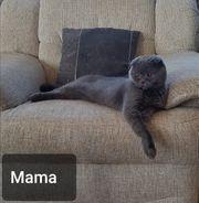 Scottish Fold-Britisch Kurzhaar Kitten Katzenbabys