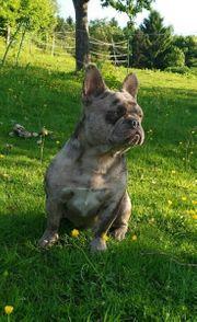 Französische Bulldogge Schoko merle Deckrüde