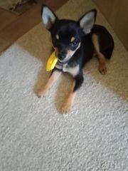 Chihuahua - Wir suchen ein neues
